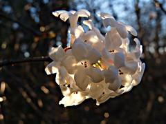 Viburnum farreri (Päivi ♪♫) Tags: oslo norway botanicalgarden tøyen northchina tøyenhagen viburnumfarreri vårkorsved fragrantviburnum nordkina kaprifoliumfamilie