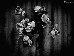 Flowers and chains B&W (LasVegasInside) Tags: flowers vacation portrait bw usa holiday tourism canon landscape blackwhite chains amazing flickr cityscape e canon5d fiori bianco nero biancoenero vacanze catene sigma50 sigma5014 canon5dmarkii canon5dphoto
