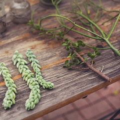 Tending the Garden (jasfitz) Tags: gardening cuttings succulents pottingtable