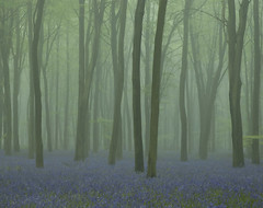 Bluebell Mist (paulwhiting) Tags: trees mist bluebells woodland countryside spring hampshire ethereal micheldever