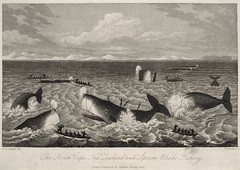 The North Cape, New Zealand, and Sperm Whale Fishery