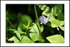 Small blue butterfly and small white flower. [explored] (e.nhan) Tags: life light flower green art nature leaves closeup butterfly leaf colours shadows dof bokeh butterflies backlighting enhan