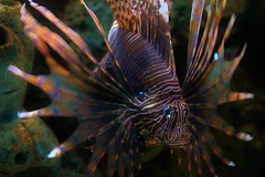 Lion Fish (Gergdole) Tags: aquarium colorful ripleys oceans lionfish seacreatures tropicalfish coralreef smokeymountains icthyology beautifulfish oceanpredators