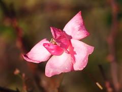 Half a rose