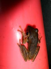 Common Tree Frog, Polypedates leucomystax (Gravenhorst, 1829) (Misenus1) Tags: japan frogs okinawa animalia kadena anura amphibia chordata rhacophoridae taxonomy:class=amphibia taxonomy:order=anura taxonomy:kingdom=animalia taxonomy:phylum=chordata polypedatesleucomystax taxonomy:family=rhacophoridae taxonomy:binomial=polypedatesleucomystax