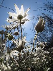 Flannel fowers - afternoon sun (LSydney) Tags: sun flower backlit wildflower flannelflowers manlydam actinotushelianthi
