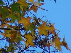 maple (ddsnet) Tags: autumn plant leaves sony taiwan autumnleaves   taoyuan autumnal recording     digital leaves reservoir autumn autumn reservoir leaves shihmanreservoir dev5 shihman digitalrecordingbinoculars binoculars shihman