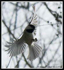 Chickadee (MorsLEGO) Tags: bird inflight chickadee