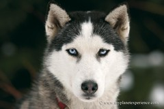 into my eyes - Siberian Husky (My Planet Experience) Tags: winter dog chien snow animal alaska race canon husky hiver huskies course siberianhusky neige siberian musher sled snowdog siberianhuskies sleddograce traneau chiendetraineau coursetraneauchien wwwmyplanetexperiencecom myplanetexperience