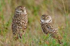 Burrowing Owl Pair FL 78940015 (www.sabrewingtours.com) Tags: brian birding owl zwiebel burrowing snt diurnal sabrewing naturetours phototours birdingtours sabrewingnaturetours brianzwiebel