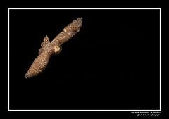 sparviero (taronik) Tags: natura uccelli animali sparviero cacciafotografica blinkagain