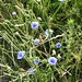 "Cichorium intybus L., Asteraceae • <a style=""font-size:0.8em;"" href=""http://www.flickr.com/photos/62152544@N00/6596733723/"" target=""_blank"">View on Flickr</a>"