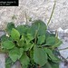 "Plantago major L., Plantaginaceae • <a style=""font-size:0.8em;"" href=""http://www.flickr.com/photos/62152544@N00/6596766045/"" target=""_blank"">View on Flickr</a>"