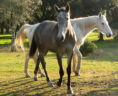 Dois livres (Amrico Meira) Tags: horse portugal caballo cavalo alpiara chaval challengeyouwinner duetos pregamewinner gamesweepwinner