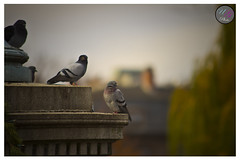 Birdy (Usman Ghafoor Photo) Tags: bird bokeh pigeon bostonma freedomtrail f28 70200mm 154mm canon7d usmanghafoorphoto