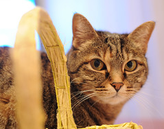 Tigre (Michi (Friuli)) Tags: photo nikon italia foto occhi gatto ritratto michi tigre 2012 friuli naso muso gatta cesto baffi cestino vimini orecchie af50 berini d700 percoto