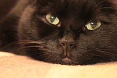 Nun me scucci... (astrastudio) Tags: cats blackcat gatto blackcats gattonero