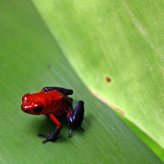 Strawberry poison dart frog (Z Eduardo...) Tags: red green nature leaf rainforest costarica wildlife frog centralamerica dendrobatespumilio strawberrypoisondartfrog flickraward5