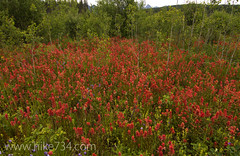 "Indian Paintbrush • <a style=""font-size:0.8em;"" href=""http://www.flickr.com/photos/63501323@N07/6638627991/"" target=""_blank"">View on Flickr</a>"
