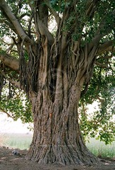Wetlands of Pakistan: Haleji lake, Sindh (Ameer Hamza) Tags: old shadow tree green shade sind sindh protected ancienttree halejilake lakesinpakistan wetlandsofpakistan lakesofpakistan lakesinsindh centralinduswetlandscomplex indusdeltaregion watersofindus