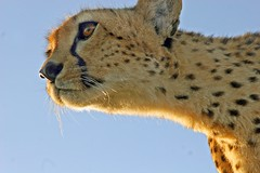 Looking Up (Picture Taker 2) Tags: africa morning nature beautiful animal closeup cat outdoors colorful pretty wildlife bigcat cheetah hunter unusual wilderness plains predator upclose mammals masaimara wildanimals earlylight otw africaanimals masimarakenya anawesomeshot flickrbigcats