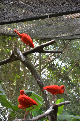 Red Ibis ©  Still ePsiLoN