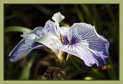 IMG_7824 - 33 Iris (jaro-es) Tags: espaa flower macro nature canon garden spain natur flor natura blume makro garten spanien calpe costablanca spanelsko eos450