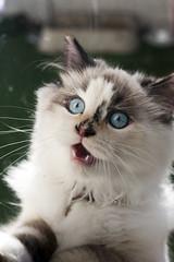 LET ME IN! (Cody La Bire) Tags: cute cat kitten blueeyes kitty ragdoll himalayan cutekitten ragdollkitten ragdollhimalayan