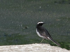 White-browed Wagtail (sudheer_pandey) Tags: india birds canon bhopal motacillamaderaspatensis whitebrowedwagtail motacillamadaraspatensis largepiedwagtail sx130 canonpowershotsx130