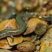 Oklahoma Salamander