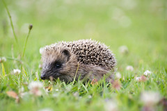 Aww.... (borealnz) Tags: baby cute nature grass animal eyes lawn hedgehog clover prickly glint hedgie prickles lowlevel animalbabies babyanimal inthewild eyetoeye