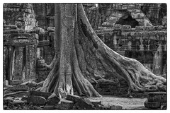 Tree in courtyard, Angkor Wat, Cambodia