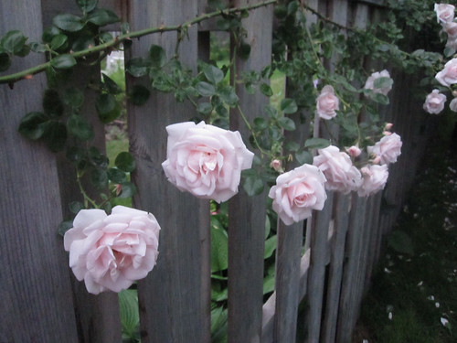 """Climbing New Dawn Rose"" Blooms In A Row"
