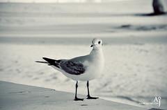Seabird (Aamir Jaffar) Tags: blue sea white bird eye beach clouds boats flying dubai eagle uae sheikh seabirds jumeirah jumierah
