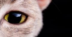 Lacey_Crop (Julian Schroeder) Tags: macro eye closeup cat wide v5 cactustrigger smcpdfa100mmf28 cactusv5