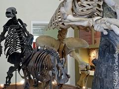 Tigre dentes-de-sabre e preguias gigantes (FM Carvalho) Tags: brazil rio brasil riodejaneiro de skeleton museu sony cybershot esqueleto boa sabre da vista quinta preguia nacional tigre gigante dente sonycybershot ufrj brsil dentes quintadaboavista museunacional tigredentedesabre tigredentesdesabre museudaquintadaboavista preguiagigante museunacionaldaquintadaboavista museunacionalufrj hx9v sonyhx9v