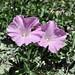 Bella flora dopo il desvio per Andahuaylas