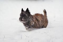 Otto (osto) Tags: dog chien pet animal cane denmark europa europe sony perro terrier zealand otto pies dslr scandinavia danmark cairnterrier a300 kpek sjlland  nrum osto alpha300 osto february2012