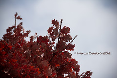 Red Leaves (Marco Calabro') Tags: autumn red italy tree leaves canon eos leaf 60d 55250