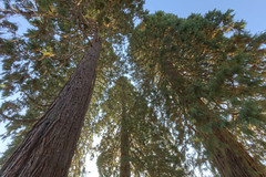 Up into the Sequoias (Scott DeSelle) Tags: trees plants nature oregon canon hdr acratech reallyrightstuff sequoiadendrongiganteum rrs washingtoncounty eos7d canonefs1022usm
