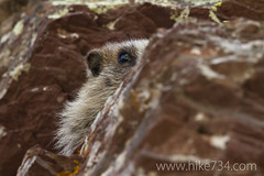 "Marmot • <a style=""font-size:0.8em;"" href=""http://www.flickr.com/photos/63501323@N07/6832841459/"" target=""_blank"">View on Flickr</a>"