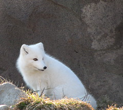 Arctic Fox (ellenm1) Tags: winter nature animals landscape zoo detroit blueribbonwinner supershot abigfave flickrdiamond bestanimals onlythebestofnature