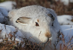Mountain Hare (Lepus timidus) 3921 (Highland Andy (Andy Howard)) Tags: park winter mountain detail up scotland hare close wildlife highland national cairngorm lepus timidus mountainhare