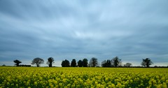 Yellow Field 2014 ~ (markescapes) Tags: uk longexposure trees sky field yellow clouds farming norfolk agriculture canola rapeseed leefilters bigstopper markspurgeon markescapes wwwflickrcomphotosmarkescapes