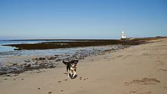 25april_gardskagaviti_012 (Stefn H. Kristinsson) Tags: dog playing beach spring sand venus april hundur clearsky strnd 2016 tamron2875 garskagaviti nikond800