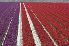 2016-04 Weer kleur met tulpen in het landschap (Stad aan Het Haringvliet/NL) (About Pixels) Tags: 0424 2016 april bloemen collecties flora goeree holland lenteseizoen mnd04 natuur nederland tulpen zeedijk stadaanhetharingvliet netherlands nl nikond7200 tulips flowers bollenteelt bollen tulpenbollen tulpenveld zuidholland