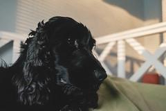 luna (Niko Saarinen) Tags: light sunset dog black shadows fujifilm spaniel cocker cockerspaniel xe2 classicchrome fujinon18mm