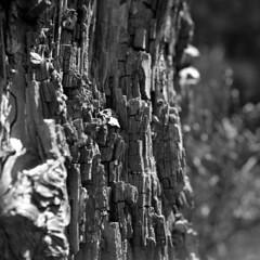 Tronc dcrpi (Alambix) Tags: nature hc110 arbre dtail trix400 yashica635 epson3200 3200dpi yashikor80mmf35