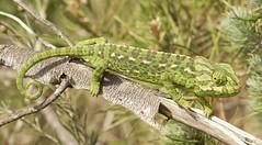 IMG_8771 (Sula Riedlinger) Tags: portugal nature reptile wildlife algarve chameleon riaformosa chamaeleochamaeleon portugalnature mediterraneanchameleon commonchameleon portugalwildlife