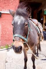 Pony (Z!SL) Tags: newyorkcity horses urban newyork animal animals fauna brooklyn dof bokeh sony depthoffield urbannature sonnar mirrorless bokehwhores sonyphotographing emount minoltaemount sel24f18z sel24f18za sel24f18 sonnarte1824 sonyflickraward nex5r sonnar2418za self24f18